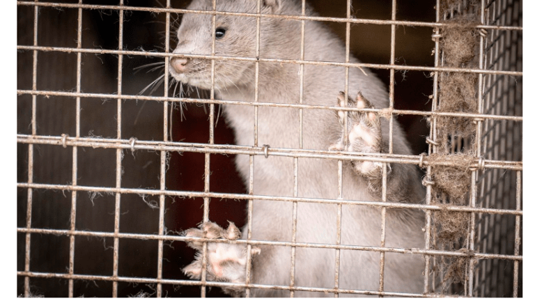 Denmark to Kill 17 Million Mink After Covid Mutation Found
