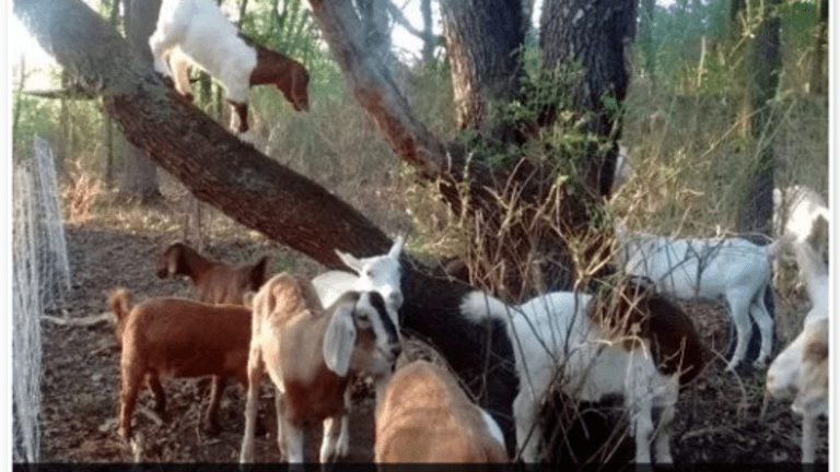 Public Union Files Grievance Against Poison Ivy Eating Goats for Stealing Jobs